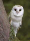 Female Barn Owl, Tyto Alba, World Owl Trust, Muncaster Castle, Ravenglass, Cumbria, UK, Captive Photographic Print by Ann &amp; Steve Toon