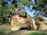 Red Kangaroo, Macropus Rufus, Cleland Wildlife Park, South Australia, Australia Photographic Print by Ann & Steve Toon