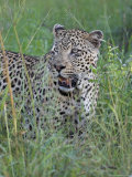 Leopard (Panthera Pardus), Kruger National Park, South Africa, Africa Photographic Print by Ann & Steve Toon