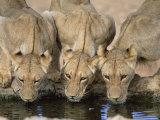 Lions Drinking, Panthera Leo, Kgalagadi Transfrontier Park, South Africa, Africa Photographic Print by Ann &amp; Steve Toon