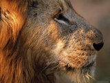 Close-up of a Lion (Panthera Leo), Mala Mala Game Reserve, Sabi Sand Park, South Africa, Africa Photographic Print by Sergio Pitamitz