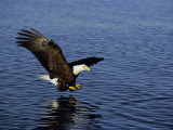 Bald Eagle (Haliaetus Leucocephalus) in February, Alaska, USA Photographic Print by David Tipling