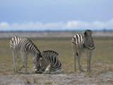 Plains Zebras, Etosha National Park, Namibia, Africa Photographic Print by David Tipling
