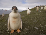 Gentoo Penguin, Aitcho Island, South Shetland Islands, Antarctica, Polar Regions Photographic Print by Sergio Pitamitz