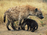 Spotted Hyena, Crocuta Crocuta, Cub Greeting Adult, Kruger National Park, South Africa, Africa Photographic Print by Ann & Steve Toon