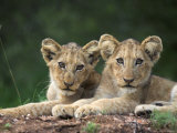 Lion Cubs, Panthera Leo, in Kruger National Park Mpumalanga, South Africa Photographic Print by Ann & Steve Toon