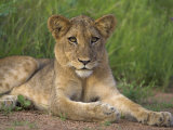 Lion (Panthera Leo), Cub, Kruger National Park, South Africa, Africa Photographic Print by Ann & Steve Toon