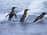 King Penguins Coming Ashore, Fortuna Bay, South Georgia, South Atlantic Photographic Print by David Tipling