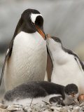Gentoo Penguins, Petermann Island, Lemaire Channel, Antarctic Peninsula, Antarctica, Polar Regions Photographic Print by Sergio Pitamitz