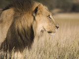 Lion (Panthera Leo), Kgalagadi Transfrontier Park, South Africa, Africa Photographic Print by Ann & Steve Toon