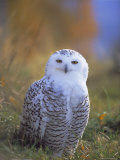 Snowy Owl, Alaska, USA Photographic Print by David Tipling