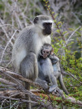 Vervet Monkey (Cercopithecus Aethiops), with Baby, Kruger National Park, South Africa, Africa Photographic Print by Ann & Steve Toon