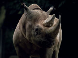 Black Rhinoceros (Rhino), an Endangered Species, Africa Photographic Print by James Gritz