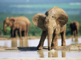 Young African Elephant, Loxodonta Africana, at Waterhole, Addo National Park, South Africa, Africa Photographic Print by Ann &amp; Steve Toon