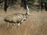 Emu, Dromaius Novaehollandiae, Flinders Ranges National Park, South Australia, Australia Photographie par Ann & Steve Toon
