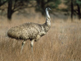 Emu, Dromaius Novaehollandiae, Flinders Ranges National Park, South Australia, Australia Photographic Print by Ann &amp; Steve Toon