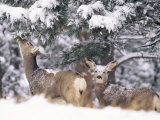 Mule Deer Mother and Fawn in Snow, Boulder, Colorado, United States of America, North America Photographic Print by James Gritz