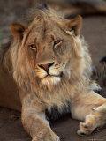 Close-up of a Lion (Panthera Leo), Mashatu Game Reserve, Botswana, Africa Photographic Print by Sergio Pitamitz