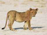 Sub-Adult Lion, Panthera Leo, Etosha National Park, Namibia, Africa Photographic Print by Ann & Steve Toon