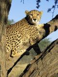Cheetah, Acinonyx Jubartus, Sitting in Tree, in Captivity, Namibia, Africa Fotografisk tryk af Ann & Steve Toon