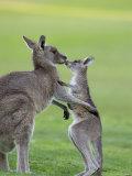 Eastern Grey Kangaroo, (Macropus Giganteus), Great Ocean Road, Anglesea, Victoria, Australia Photographic Print by Thorsten Milse