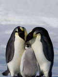 Emperor Penguin (Aptenodytes Forsteri), Snow Hill Island, Weddell Sea, Antarctica, Polar Regions Photographic Print by Thorsten Milse