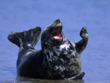 Gray Seal, (Halichoerus Grypus), Helgoland, Schleswig-Holstein, Germany Photographic Print by Thorsten Milse