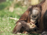 Young Orang-Utan (Pongo Pygmaeus), in Captivity, Apenheul Zoo, Netherlands (Holland), Europe Photographic Print by Thorsten Milse
