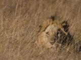 Lion, Panthera Leo, Moremi Wildlife Reserve, Botswana, Africa Photographic Print by Thorsten Milse