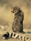 Cheetah Cub (Acinonyx Jubatus), Erongo Region, Namibia, Africa Photographic Print by Thorsten Milse