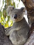 Koala, (Phascolartos Cinereus), Magnetic Island, Queensland, Australia Fotografisk tryk af Thorsten Milse