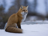 Red Fox, Vulpes Vulpes, Churchill, Manitoba, Canada, North America Photographic Print by Thorsten Milse