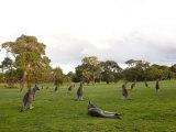 Eastern Grey Kangaroo, (Macropus Giganteus), Anglesea, Great Ocean Road, Victoria, Australia Photographic Print by Thorsten Milse
