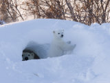 Polar Bear with Cubs, Ursus Maritimus, Churchill, Manitoba, Canada Photographie par Thorsten Milse