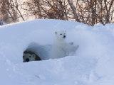 Polar Bear with Cubs, Ursus Maritimus, Churchill, Manitoba, Canada Fotografisk trykk av Thorsten Milse