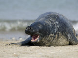 Gray Seal (Grey Seal), Halichoerus Grypus, Heligoland, Germany, Europe Photographic Print by Thorsten Milse
