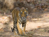Bengal Tiger (Panthera Tigris Tigris), Bandhavgarh, Madhya Pradesh, India Photographic Print by Thorsten Milse