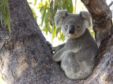 Koala (Phascolartos Cinereus), Magnetic Island, Queensland, Australia Photographic Print by Thorsten Milse