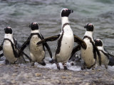 Jackass Pinguin, (Spheniscus Demersus), Boulder's Beach, Capetown, South Africa Photographic Print by Thorsten Milse