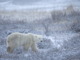 Polar Bear, Ursus Maritimus, Churchill, Manitoba, Canada, North America Photographic Print by Thorsten Milse