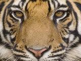 Bengal Tiger, (Panthera Tigris Tigris), Bandhavgarh, Madhya Pradesh, India Reprodukcja zdjęcia autor Thorsten Milse