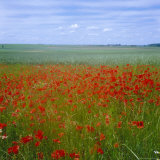 Fields of Poppies, Valley of the Somme, Nord-Picardy (Somme), France Photographic Print by David Hughes