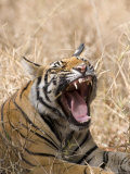 Bengal Tiger, (Panthera Tigris Tigris), Bandhavgarh, Madhya Pradesh, India Photographic Print by Thorsten Milse