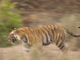 Bengal Tiger, Panthera Tigris Tigris, Bandhavgarh National Park, Madhya Pradesh, India, Asia Photographic Print by Thorsten Milse