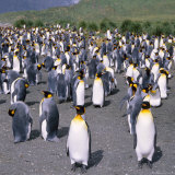 Large Group of King Penguins on South Georgia, South Atlantic Photographic Print by Geoff Renner