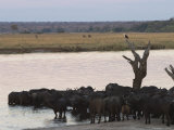 African Buffalos, Syncerus Caffer, Chobe River, Chobe National Park, Botswana, Africa Photographic Print by Thorsten Milse