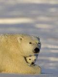 Polar Bear with Cubs, (Ursus Maritimus), Churchill, Manitoba, Canada Fotografisk trykk av Thorsten Milse