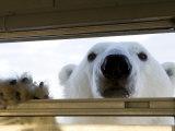 Polar Bear (Ursus Maritimus), Hudson Bay, Churchill, Manitoba, Canada, North America Lámina fotográfica por Thorsten Milse