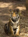 Bengal Tiger, Panthera Tigris Tigris, Bandhavgarh National Park, Madhya Pradesh, India, Asia Photographic Print by Thorsten Milse