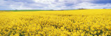 Fields of Oil Seed Rape, Near Seahouses, Northumberland, England, United Kingdom, Europe Photographic Print by Lee Frost